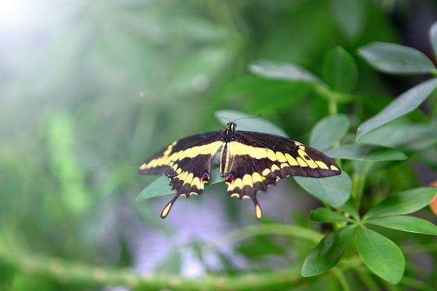 Bella enorme farfalla blu papilio nireus su una mano di donne su sfondo verde. insetti tropicali ed esotici - vita selvaggia
