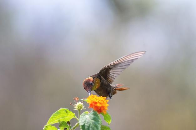 Bellissimo colibrì nutrendosi del nettare dei fiori