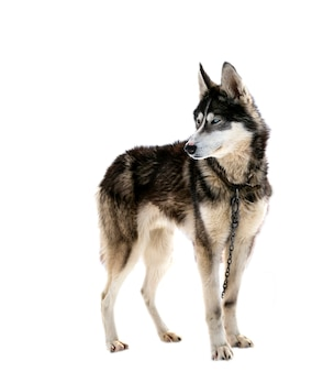 Bellissimo cane husky isolato su sfondo bianco
