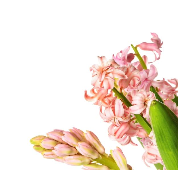 Bellissimi fiori di giacinto su sfondo bianco