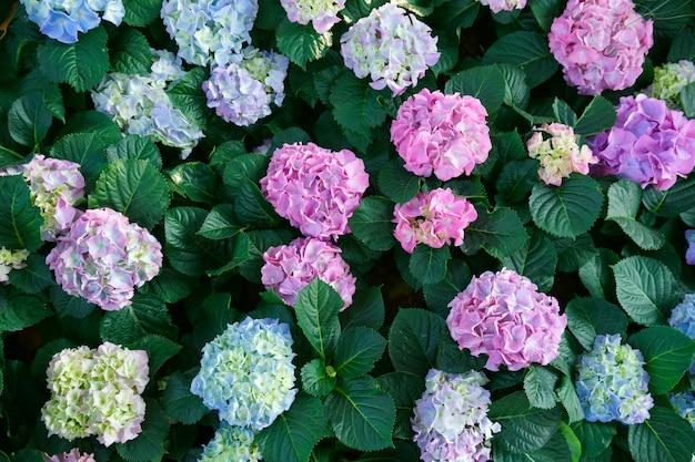 Bellissimi fiori di ortensia. i cespugli fioriscono in primavera e in estate nel giardino di campagna. vista dall'alto