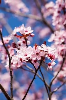 Bella illuminata dalla luce del sole freschi fiori di ciliegio nella stagione primaverile, fiori di ciliegio di insolito colore rosa con una piccola profondità di campo, alberi decorativi durante la fioritura nel giardino, primo piano