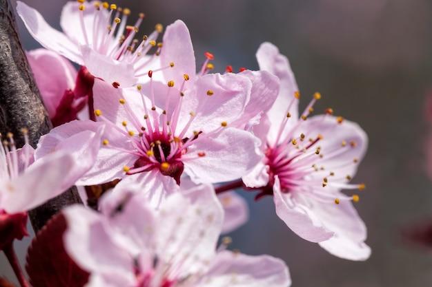 Bello illuminato dalla luce del sole freschi fiori di ciliegio nella stagione primaverile