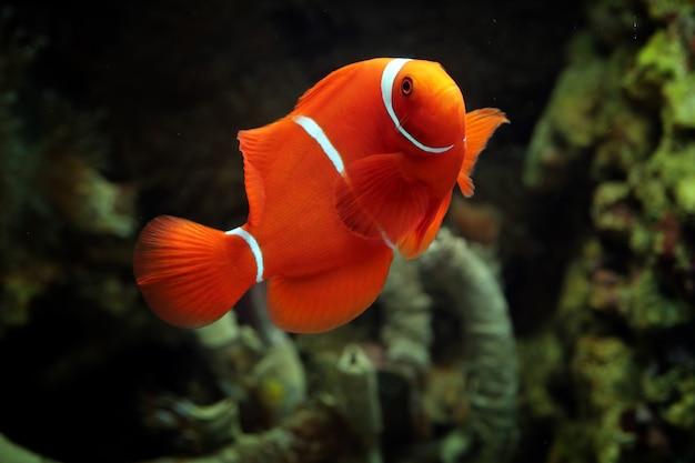 Bellissimo pesce marino indonesia su corallo tropicale