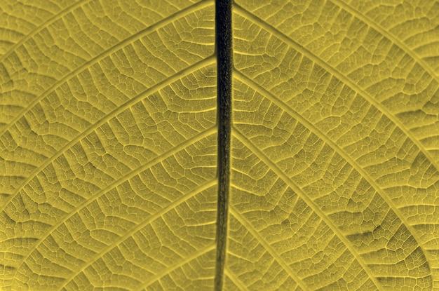 Una bella foglia di jabon, anthocephalus macrophyllus a fuoco poco profondo