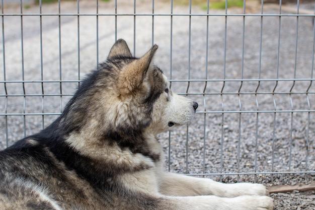 Un bellissimo e gentile pastore alaskan malamute siede in un recinto dietro le sbarre e guarda con occhi intelligenti. voliera da interno.