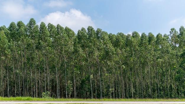 Bellissimo paesaggio della piantagione di eucalipto