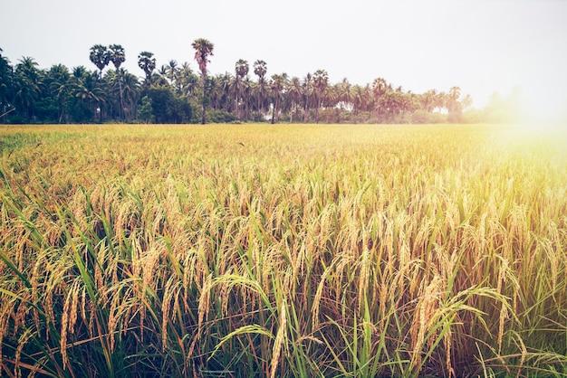 Splendido paesaggio dorato del sole sul campo di riso al tramonto, pianta di risaia con orecchio di riso maturo gambo giallo, tempo di raccolta in fattoria e agricoltura in thailandia, stile natura vintage per lo sfondo