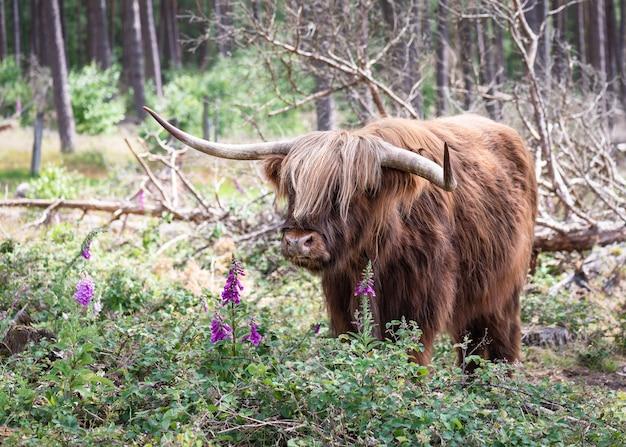 Bellissimo paesaggio con un massiccio bestiame marrone scozzese dell'altopiano e fiori selvatici viola della digitale