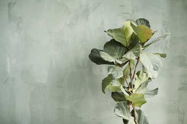 Belle grandi foglie di una pianta d'appartamento su uno sfondo di un muro grigio