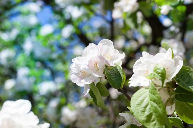 Bei grandi fiori bianchi dell'albero da frutto in primavera