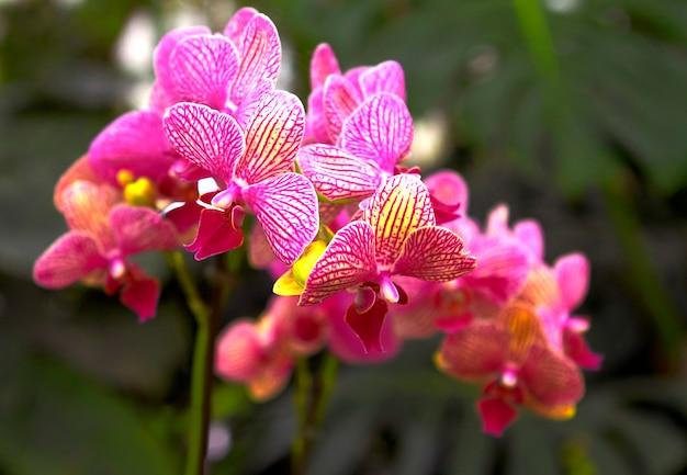 Bellissimi fiori di orchidea phalaenopsis viola chiaro con sfondo naturale.