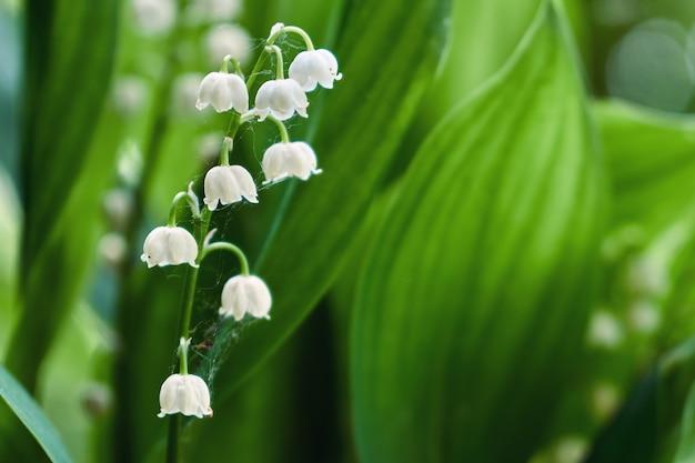 Il bellissimo mughetto fiorisce all'aperto in primavera