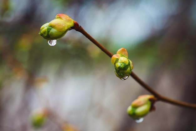Bei rami di tiglio con il primo piano di fioritura dei germogli nella primavera della pioggia. rami pittoreschi dell'albero in tempo di pioggia. boccioli di foglie di tiglio con gocce di pioggia.