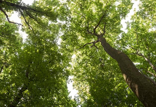 Bella foresta di tigli con alberi ad alto fusto verde