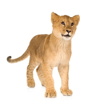 Bello ritratto del cucciolo di leone isolato