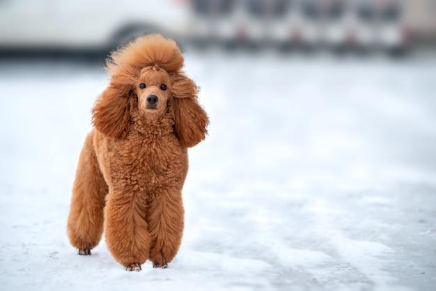 Bellissimo barboncino albicocca in posa all'aperto nella neve. copia spazio