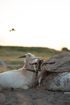 Bellissimi cuccioli di capra giacciono nel campo con il muso toccato