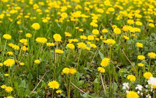 Bellissimi denti di leone gialli vivi sul campo nella stagione primaverile, bellissima natura reale