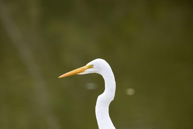 Bellissimo airone bianco lungo nel parco a caccia di pesci
