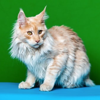 Bellissimo gatto rosso tabby maine coon a pelo lungo seduto su sfondo verde e azzurro