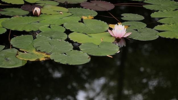 Bello un sacco di loto rosa e foglia nel lago. vista orizzontale. luce naturale.