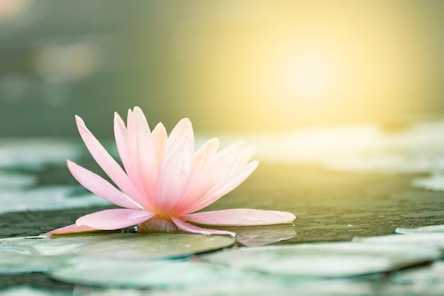 Bello fiore di loto in stagno