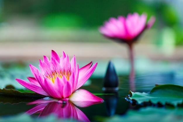 Bello fiore di loto su superficie dello stagno