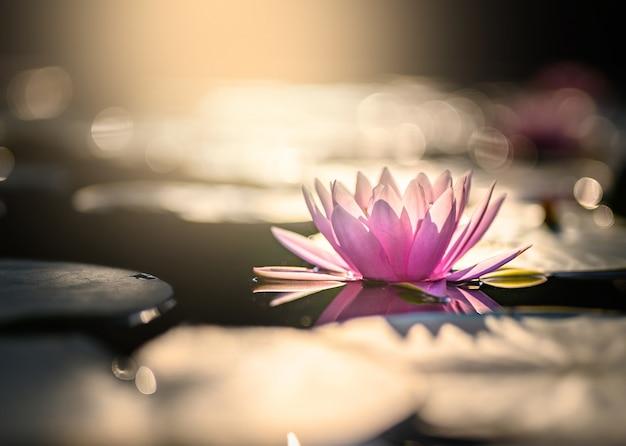 Bello fiore di loto su acqua dopo pioggia in giardino.
