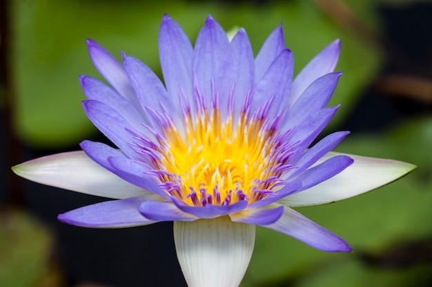 Bellissimo fiore di loto o ninfea.