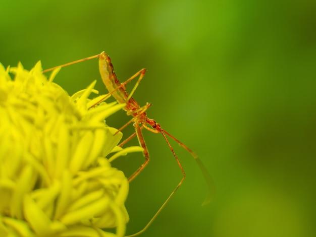 Insetti di assassino della crisalide della crisalide di assassino macro bella sul fiore giallo su sfondo nero