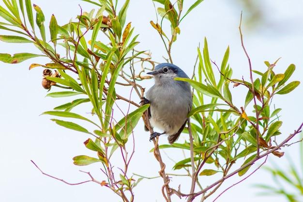 Bellissimo gnatcatcher mascherato maschio appollaiato su un ramo dopo aver cercato insetti per il cibo. buenos aires, argentina.
