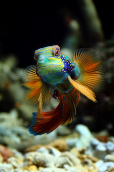 Bellissimo pesce mandarino in una vasca