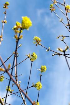 Bellissimo albero di acero durante la fioritura primaverile, primo piano dei rami di acero con fiori, clima primaverile nella foresta