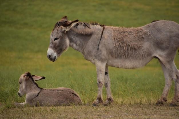 Bellissimi burros di cavalla e puledro che riposano in un grande campo.