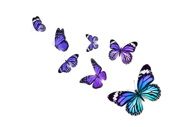 Bella farfalla monarca isolata su bianco
