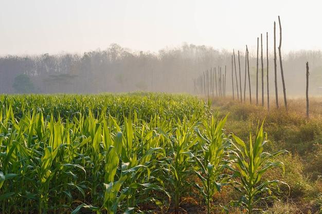 Bella mattina il campo di grano