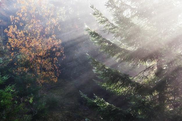 Bella nebbia mattutina e raggi di sole in autunno pineta.