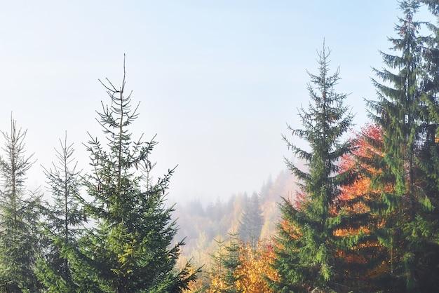 Bella mattina nella foresta nebbiosa di autunno con maestosi alberi colorati.