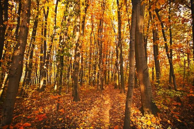 La bella mattina nella nebbiosa foresta d'autunno