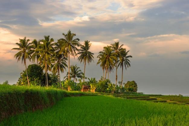 Bella mattina con un'atmosfera rurale con alberi di cocco e verdi risaie
