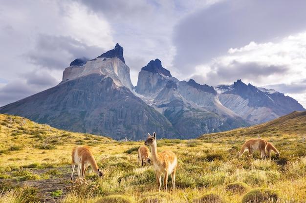 Bellissimi paesaggi di montagna e guanaco nel parco nazionale torres del paine, cile. regione escursionistica famosa in tutto il mondo.