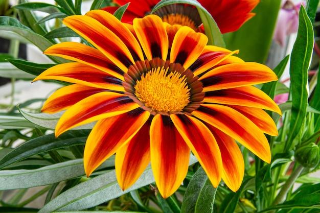 Bellissimo giardino decorativo multicolore gazania fiore