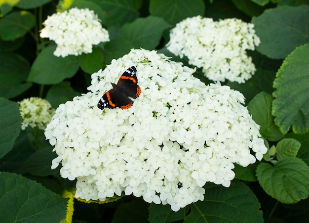 Una bellissima farfalla multicolore si siede su un fiore di ortensia bianca in fiore. crescono in giardino.