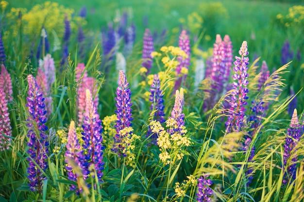 Bellissimo sfondo naturale multicolore di fiori di lupino su un prato verde