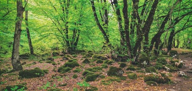 Bella scena misteriosa della foresta verde