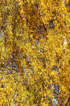 Bellissimo fogliame di betulla naturale che ha cambiato colore nella stagione autunnale
