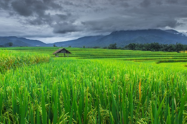 Bella vista naturale delle terrazze di riso verde al mattino a bengkulu utara