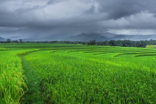 Bella vista naturale delle verdi terrazze di riso al mattino nel nord di bengkulu