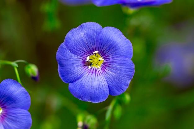 Bella scena della natura con fiori di lino in fiore nel chiarore del sole.